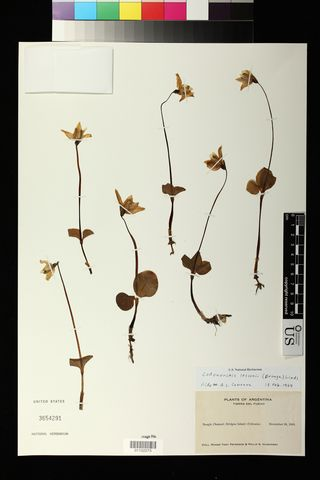 Specimen US 3654291 is an orchid collected by American naturalist Roger Tory Peterson and ornithologist Philip S. Humphrey