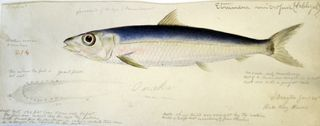 Drayton Hilo Bay illustration