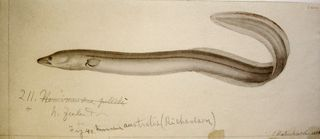 Richard's 1858 illustration of the short-finned eel