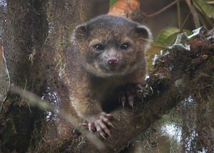 Photo of Olinguito.  New species described by Helgen, et al.