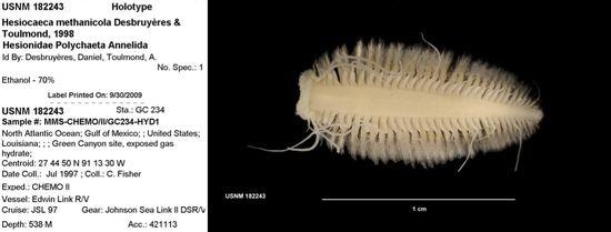 Hesiocaeca-methanicola_Holotype
