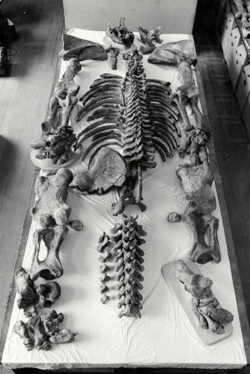 Ground sloth bones laid out and ready for assembly of the mount.