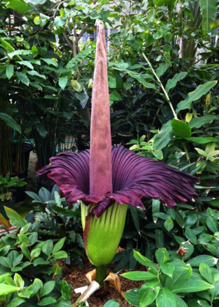 Amorphophallus titanum Becc. (Photo by Leslie Brothers))