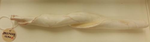 Columellashell