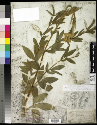 In July 1868, Sereno Watson collected Thermopsis montana var. montana. in northern Nevada during the U.S. Geological Exploration of the Fortieth Parallel