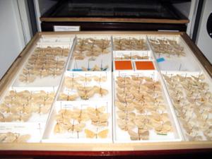 Geometrid moths