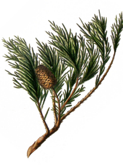 Sequoia is prominently featured in Asa Gray's 1872 theory about the relationship between the similar floras of North America and Asia (Am. Nat. 6: 577-596). This chromolithograph from E.J. Ravenscroft's Pinetum Britannicum (1884) depicts the California endemic giant sequoia (Sequoiadendron giganteum).