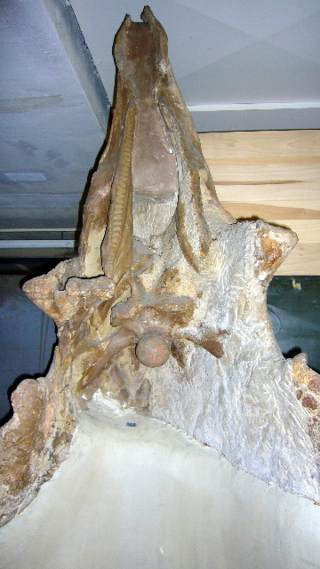 The Triceratops skull, held upright by a plaster base, with tooth sockets, palate, and occipetal bone visible.