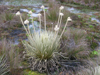 "Coespeletia palustris grows in marshy habitats. (photo by Luis ""Kike"" Gámez)"