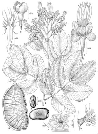 Brodriguesia santosii 1663