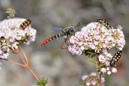 Mydidae_miltinus_stenogaster_jean_hort