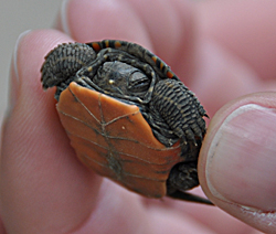 Baby turtle. Photo by Daniel Field