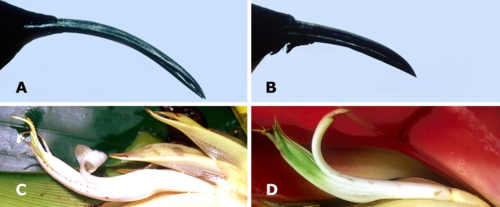 Polymorphisms in bills of purple-throated caribs and in flowers of Heliconia species. A) Female bill; B) Male bill; C) H. bihai, flower; D) H. caribaea, flower. (Photos by W. John Kress and Ethan Temeles)