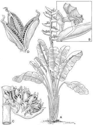 Phenakospermum guyannense (Artwork by Alice Tangerini)