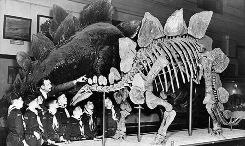 Stegosaurus model and mounted skeleton, circa 1952