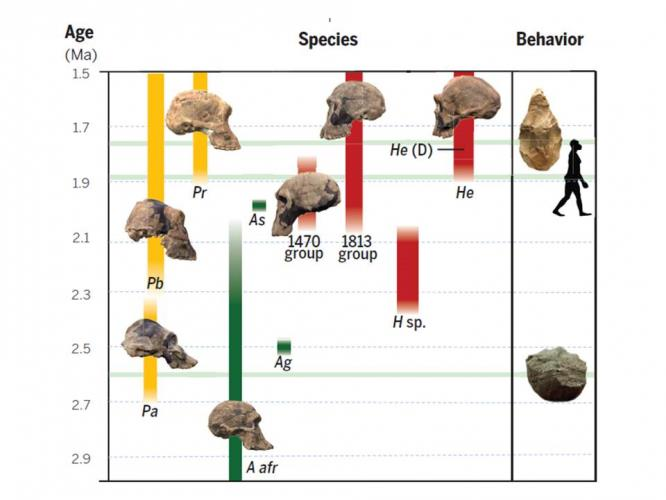human evolution detailed chart: The traits that make us human evolved at different times