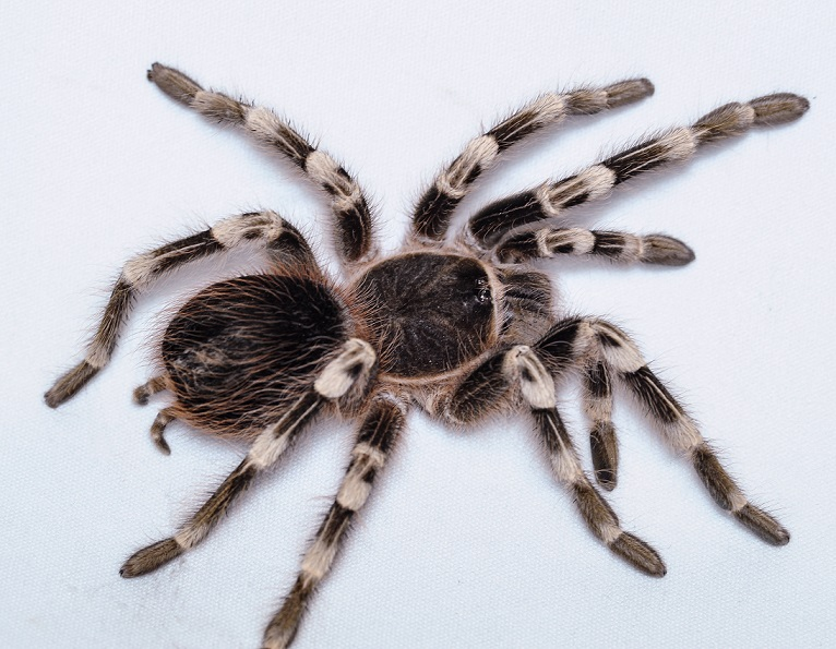 BrazilianWhiteKneeTarantula.small