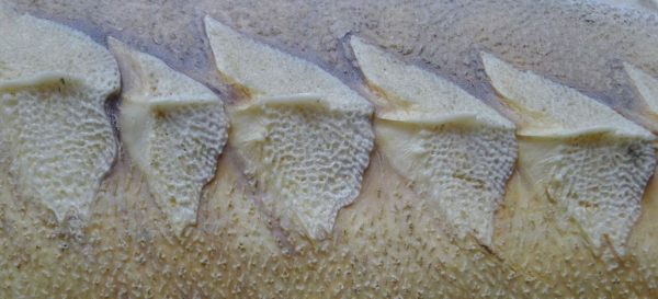 Sturgeon scales on dried fish division specimen. Photo by Annet Couwenberg