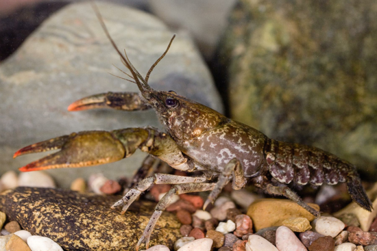 Fig4-Crayfish
