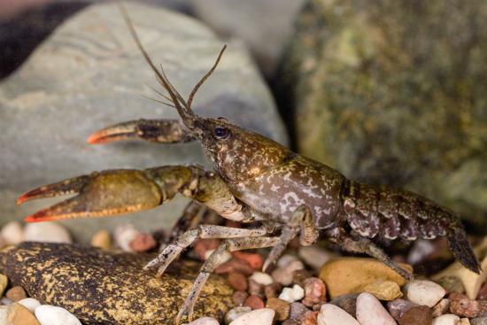 Fig4-Crayfish
