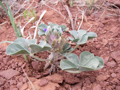 Pediomelum megalanthum var. megalanthum on wire mesa, Southern Utah. (photo by Ashley N. Egan)