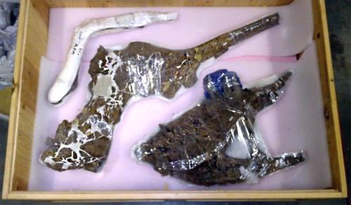 Crated T. rex bones
