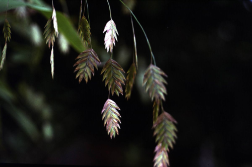 Chasmanthium latifolium (Michx.) H.O.Yates (photo by Rob Soreng)