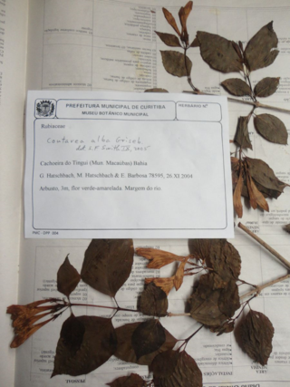 A specimen of Coutarea alba Griseb. (Rubiaceae) from a bundle that will now be processed. The collector, Gerdt Hatschbach, was a prolific collector and botanist from Brazil who passed away last year. Being able to incorporate these specimens into the collections at the U.S. National Herbarium is an important and valuable endeavor.