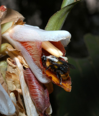 American Journal of Botany cover illustration: At the Cai Yung Hu Reserve in Yunnan, China, the single anther of a flower of Alpinia blepharocalyx (Zingiberaceae) deposits pollen on the back of a Bombus pollinator as it enters the flower to take nectar. (Photo by W. John Kress)