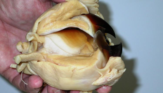 Giant Squid Beak