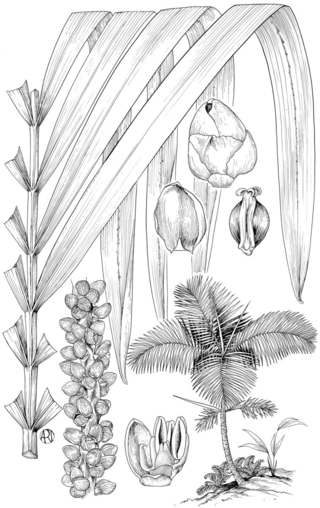 Prestoea montana (R. Graham) G. Nicholson. (Illustration by Alice Tangerini)