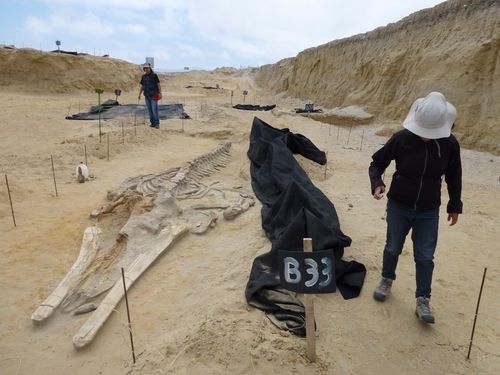 Fossilwhales_CerroBallena