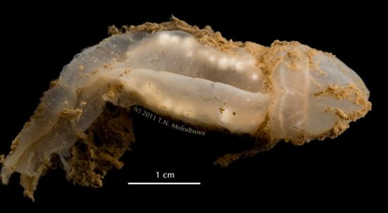 Coleodesmium karaensis