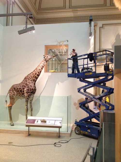 Cleaning_giraffe