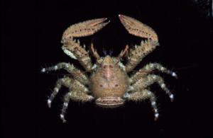 Petrocheles_australiensis