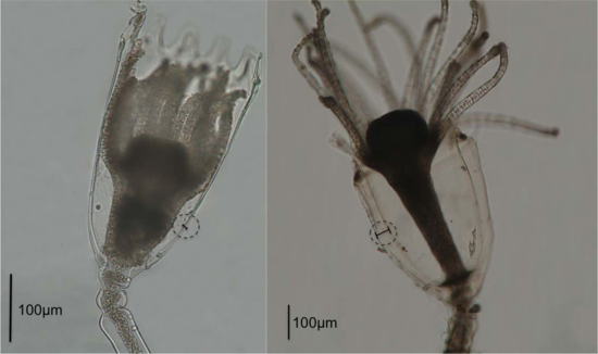 Orthopyxis sargassicola