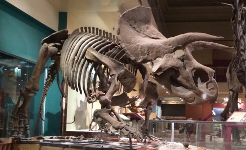 The Triceratops, Hatcher, at the Smithsonian National Museum of Natural History