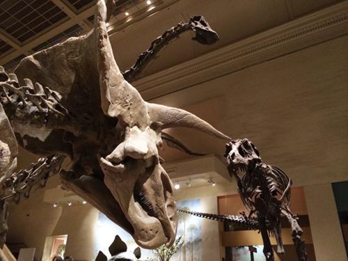 Our cast skeletons of Triceratops and T. rex stood confronting each other at the entrance to the dinosaur hall.