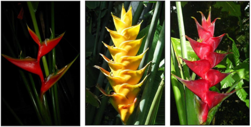 The two native heliconias: Heliconia bihai (left) and H. caribaea (2 color forms; middle and right) from the island of Dominica. (Photos by Vinita Gowda)