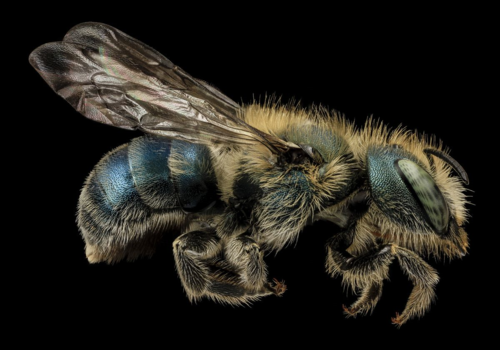 Osmia atriventris, a megachilid bee widespread in Eastern North America and an effective pollinator of blueberry. Image from USGS Bee Inventory and Monitoring Lab's flickr photostream.