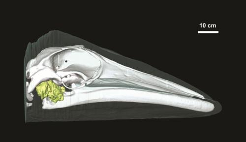 minke whale ear fat