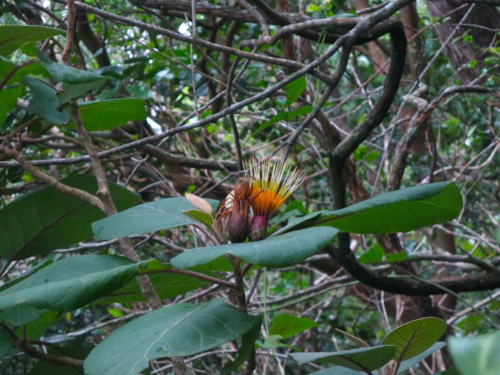 Hesperomannia oahuensis in flower. (Photo by Jason Cantley)