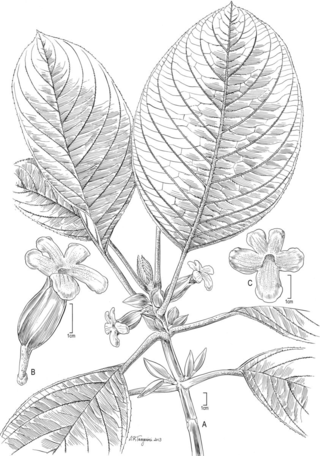 Cyrtandra uapouensis W. L. Wagner & Lorence (Illustration by Alice Tangerini)