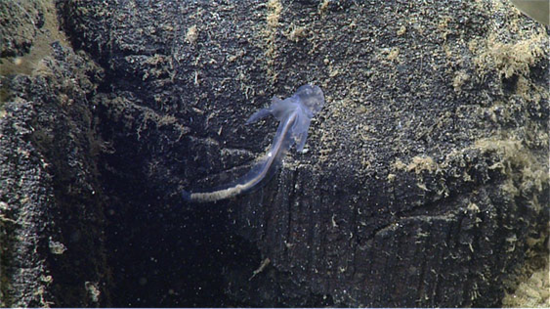 In situ frame grab of torquaratoid enteropneust on lava pillow prior to collection. Photo credit: 2014 MBARI Doc Ricketts.