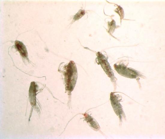 Calanoids