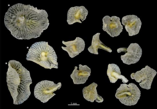 Photographs of 15 Dendrogramma specimens Credit- Jean Just:PLOS One