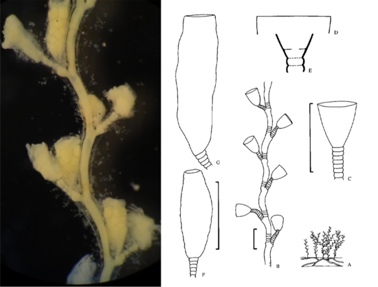 Museum specimen of Laomedea flexuosa Alder, 1857 (left); drawings of the same species by Cornelius (1995) (right).