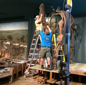 Removing the right shoulder blade from the mammoth