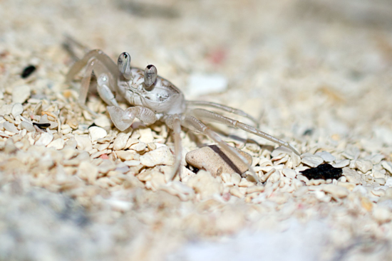 GhostCrab_CBC_small