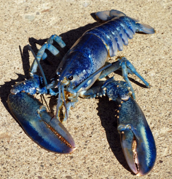 A blue American lobster, Homarus americanus. (Credit: Jim Cornall/Huntsman Marine Science Center, courtesy of CaRMS Photogallery)